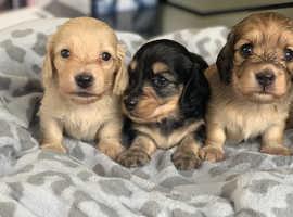 Stunning litter of Miniature Dachshunds