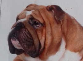 Bulldog wanted