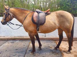 Stunning Savanah Buckskin 14.2hh Registered AQHA Quarter Horse Mare