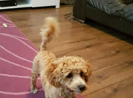 6 month old Apricot Poodle