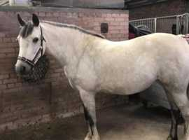 14hh Grey Connemara Mare