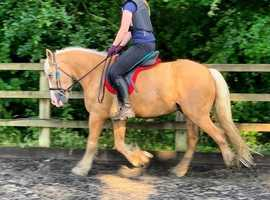 Charlie 14.1hh palomino cob gelding for share/part loan - Arborfield - Berkshire