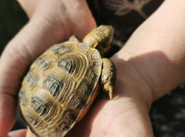 Pet Tortoise Horsefield Tortoise Table