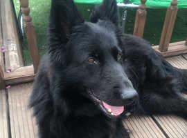 Black German shepherd puppies Reserve