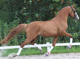 Hulst Mando 14.2 dressage pony stallion standing at stud