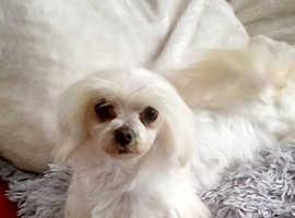 Tiny kc reg Maltese girl