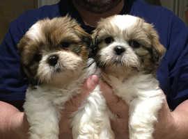 2 x 100% Shih Tzu puppies