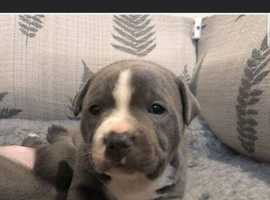 Looking for a Staffordshire bull terrier pup