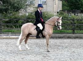 Palomino registered Welsh part bred