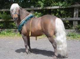 Bmhs amha reg stallion