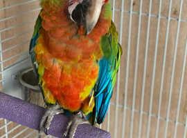 Semi tame Male shamrock macaw