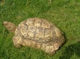 Male Leopard Tortoise