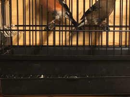 Goldfinch and bullfinch