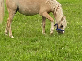 beautiful palomino pony