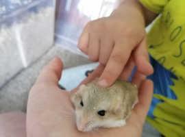 Fat tailed gerbils