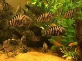 Great offer 4 cm Tropical Fish (Zebra fish) babies free