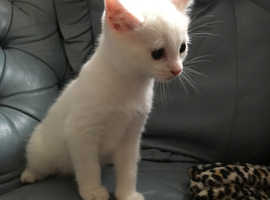 Beautiful pure white kitten for sale
