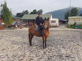 14hh pony - SOPHIE