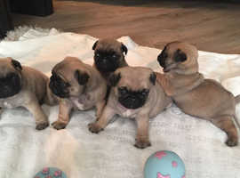 Pug puppies 5 weeks old (ready at 8/9wks)