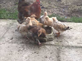 Pullets and chickens for sale