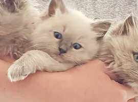 Beautiful ragdoll kittens for reservation