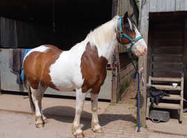 15.3hh coloured gelding