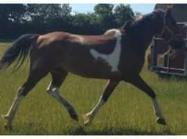 15.3hh approx gelding companion only