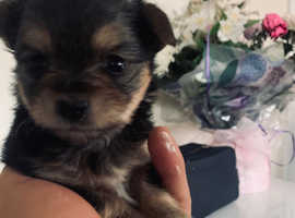 Yorkshire terrier puppies cross Chihuahua