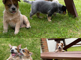 AUSTRALIAN CATTLE DOG PUPPIES FARM BRED READY TO GO