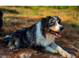 Collie up for stud