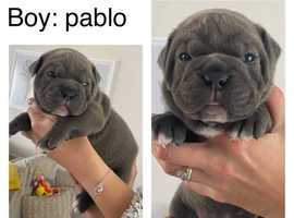 6 Beautiful Old Tyme English bulldog puppies