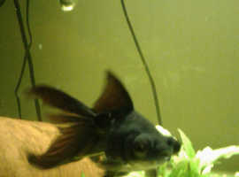 Pleco, 8 inch fancy goldfish and black moor for sale.
