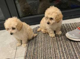 Westipoo beautiful pups