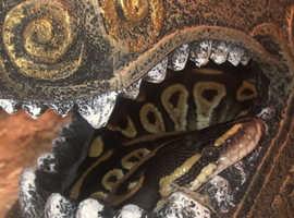 1 year old royal python