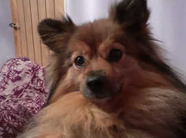 Wanted german spitz