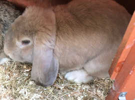 Beautiful French lop X babies