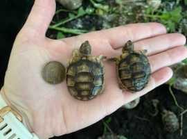 Marginated tortoise hatchlings for sale