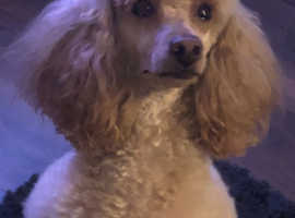 Full Bred Apricot Toy Poodle for Stud ( For Service ) Suitable to service Toys And Small Miniatures