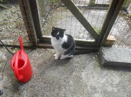 Very friendly B/W CAT - Northern Ireland