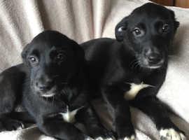 Beautiful Labrador cross Collie Puppies