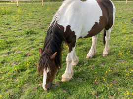 £30 Per Week For Loan 13.3hh 14 year old skewbald cob for part loan 3 days a week
