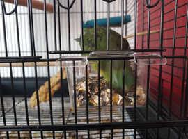 Baby Green linolated parakeet