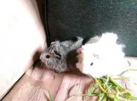 Baby guinea pigs females