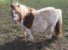 Registered Miniature Shetland - In Foal / Lead Rein Pony