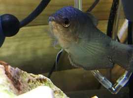 blue gouramis