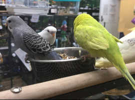 Beautiful Hand Reared Budgies Available Now