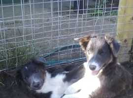 Slate Blue Tri Border Collie X Australian Cattle Dog Bitch Puppies