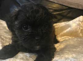 Shihpoo pup