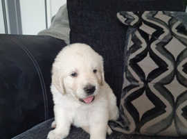 Beautiful Golden Retriever Girl RESERVED