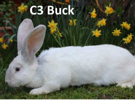 Pure Bred Continental Giant Rabbit C3 Buck